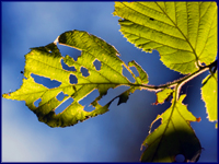 cankerworm leaf